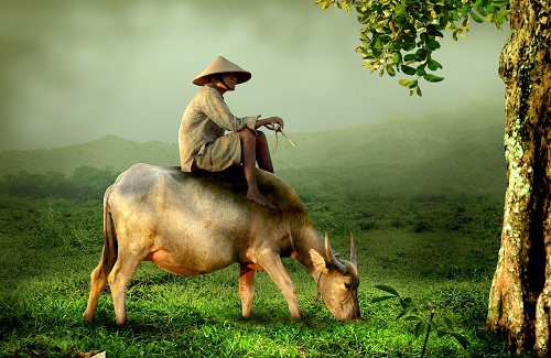 Buffels op het platteland, Vietnam