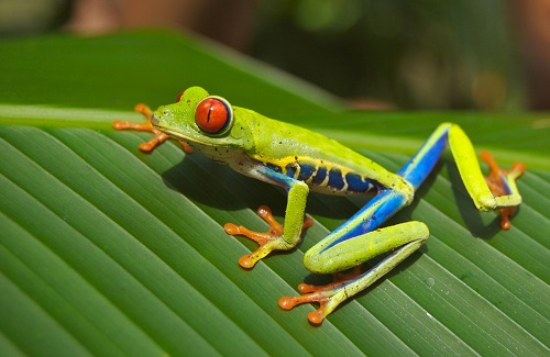 Boomkikker Costa Rica