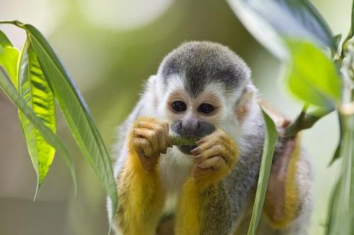 Suriname meerkat