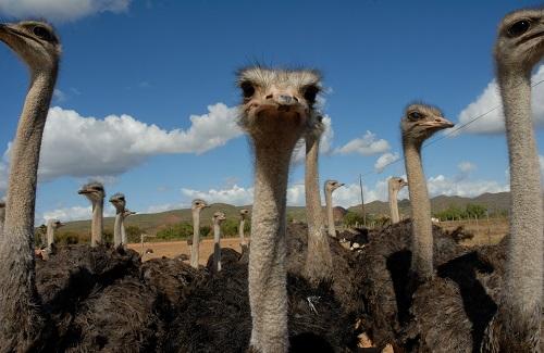 Struisvogelboerderij in Oudtshoorn